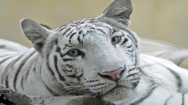 liger-3_1280x720